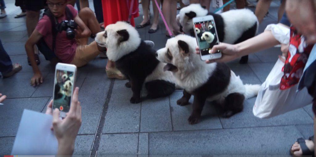 cani panda