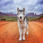 Loki the wolfdog