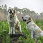 Labrador grasso