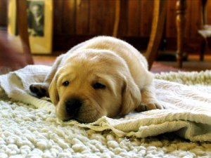 yellow-labrador-retriever-750098_1280