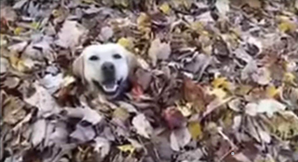 vita di un labrador