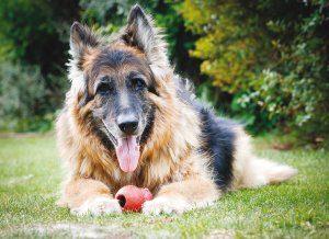 alimentazione-cani-anziani