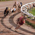 levrieri da corsa