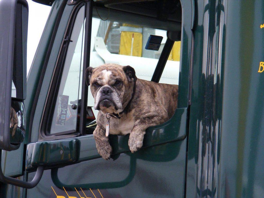 cani in auto