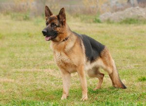 cane da difesa
