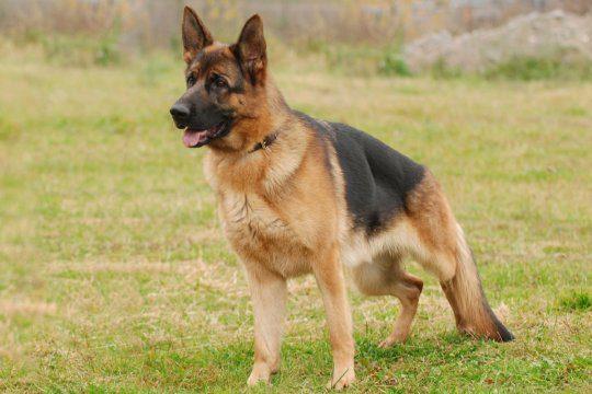 cane per la difesa