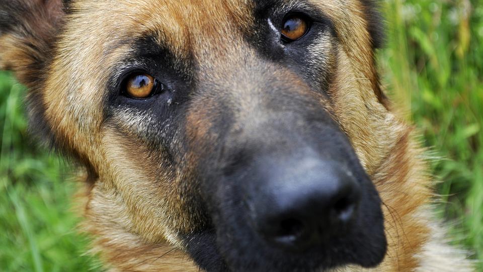 Cani da difesa: non basta scegliere la razza