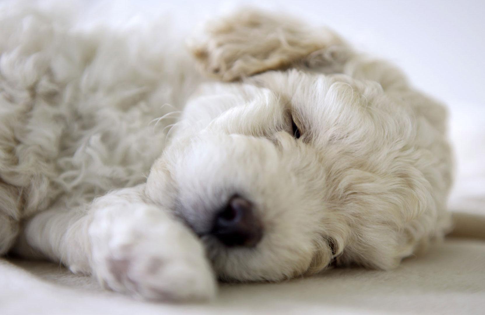 Sei un soggetto allergico ma vorresti un cane?