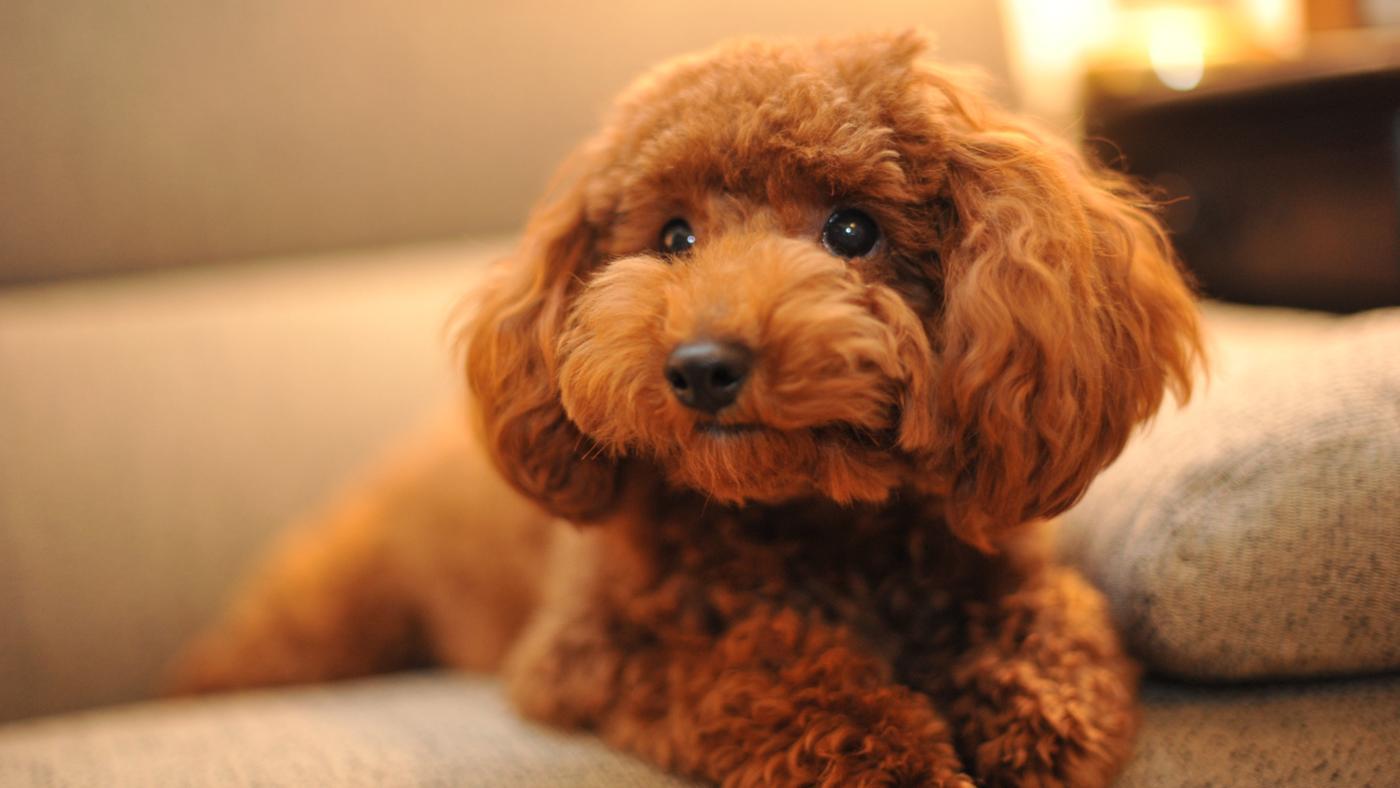 esistono cani che non perdono il pelo?