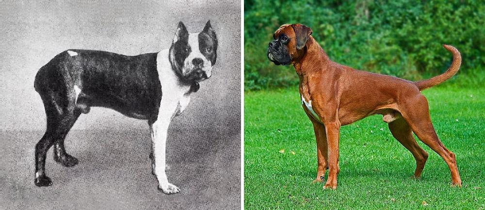 Come sono cambiate le razze di cane in 100 anni