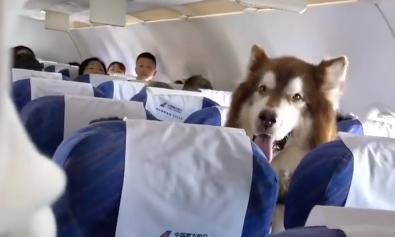 Un cane viaggia in aereo come supporto emotivo del padrone disabile