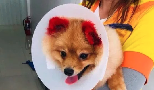 Una signora tinge le orecchie del suo cane di rosso e ne perde una