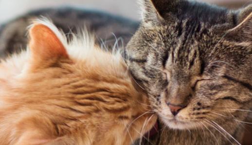 Feromoni del gatto: cosa sono e quali messaggi mandano!