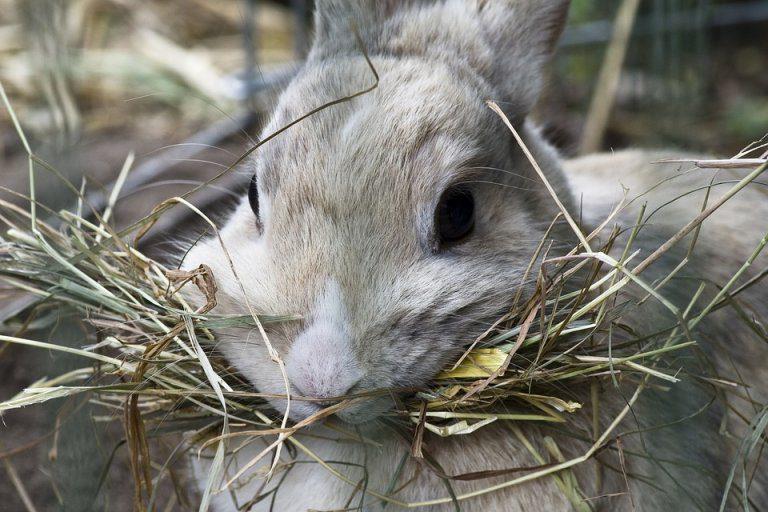 Fieno Per Il Coniglio è Fondamentale Amici Di Casa