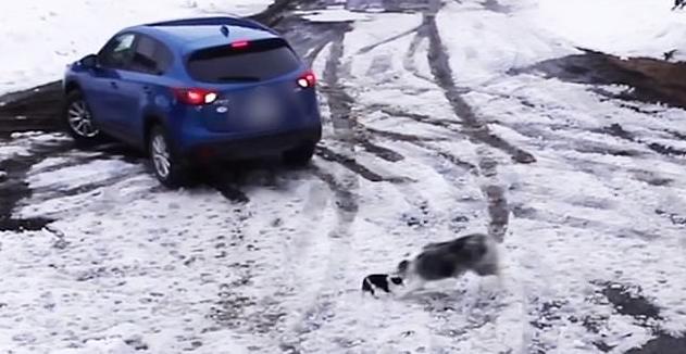 Cane eroe: Border Collie salva un Chihuahua che stava per essere investito