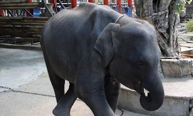 Una petizione per salvare Dumbo, un elefante chiuso in uno zoo in Thailandia