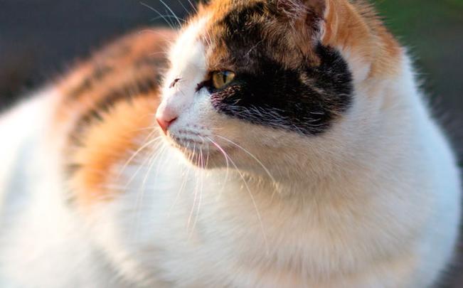 Qual è la giusta alimentazione per la gatta incinta?