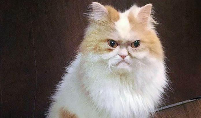 Il gatto Louis: il nuovo erede di Grumpy Cat