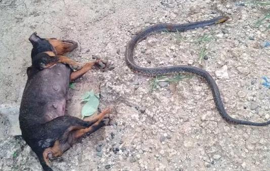 Cani salvano la vita a una bambina attaccata da un serpente: uno muore nello scontro