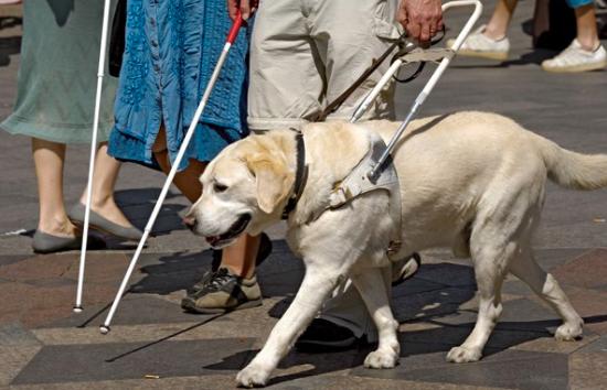 Curiosità: cosa dice la legge per i cani guida dei non vedenti?
