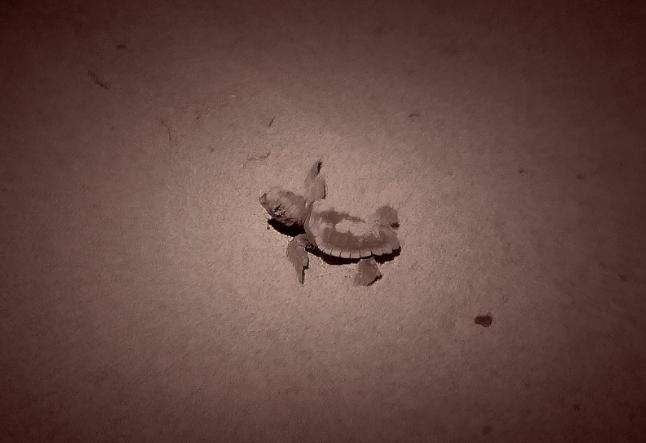 Grosseto: sono nate 13 tartarughe Caretta Caretta!