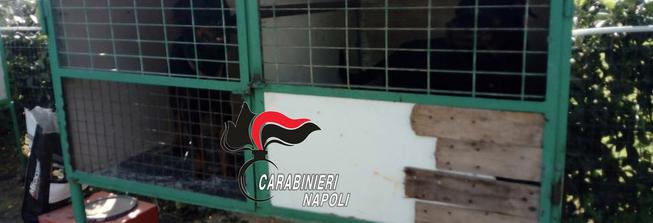 Napoli: carabinieri trovano un canile lager. Denunciato il malfattore