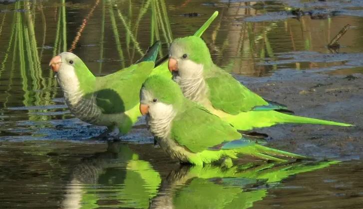 Madrid si prepara a sterminare 12.000 pappagalli entro il prossimo autunno
