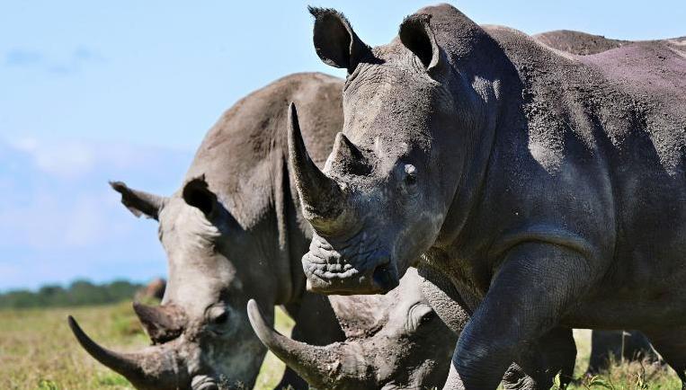 Gli scienziati creano un falso corno di rinoceronte per salvarli dal bracconaggio