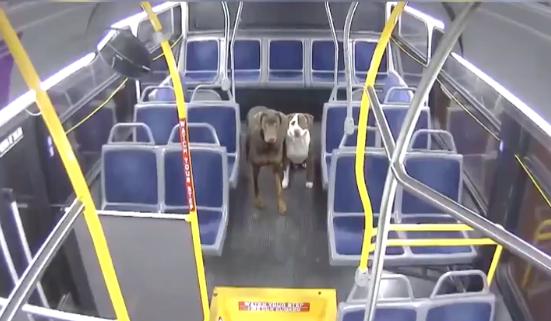 Autista di autobus aiuta due cani persi a tornare a casa per Natale