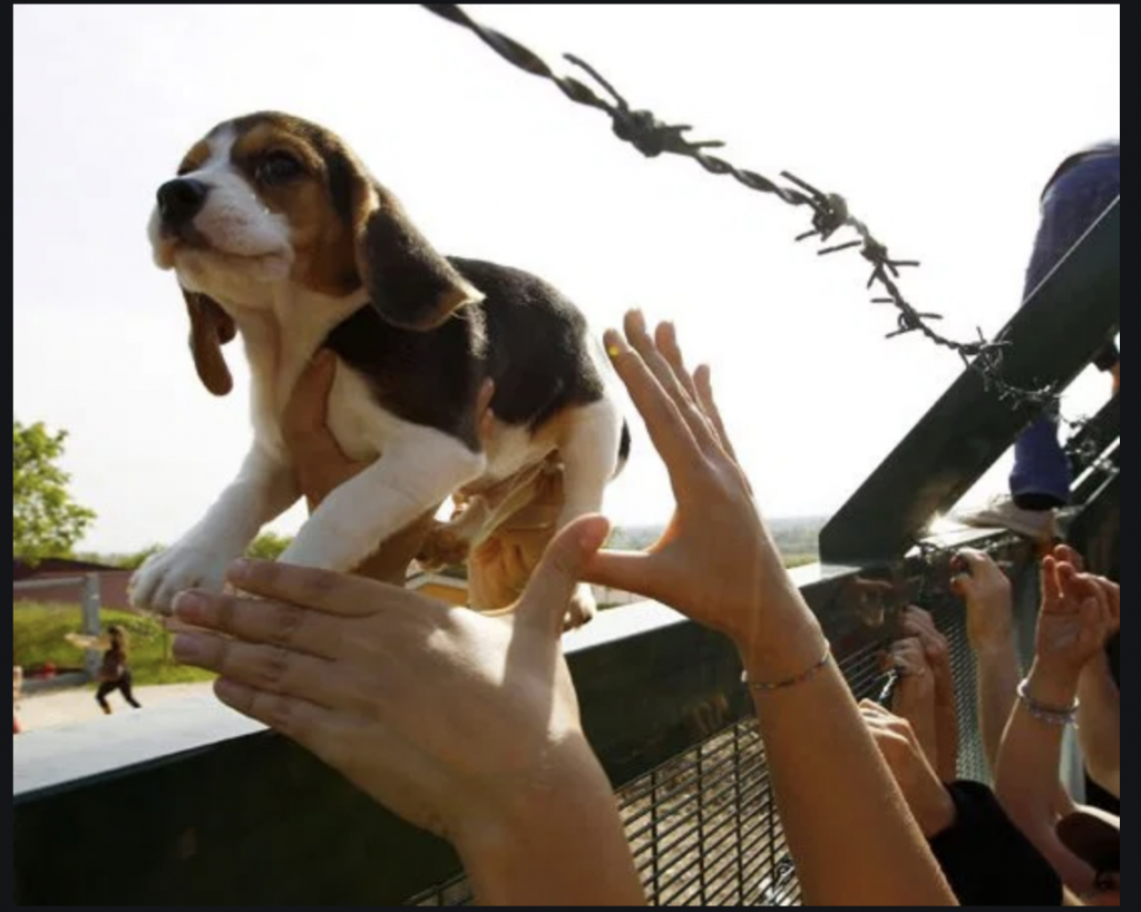 Green Hill: Beagle Liberi