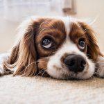 cane perde il pelo