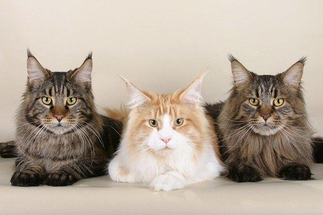 motivi per cui il gatto ha bisogno di un compagno