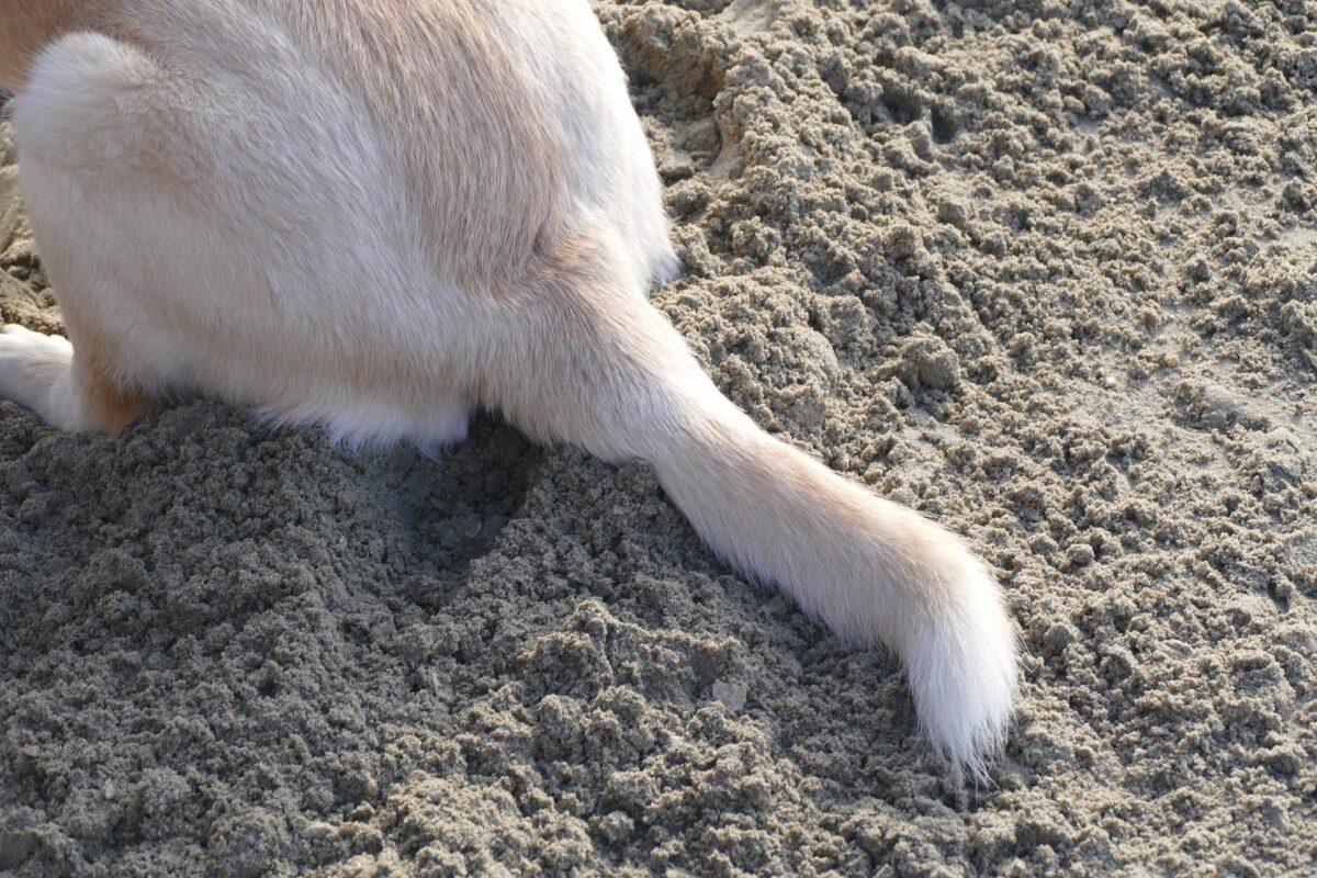 cani coda
