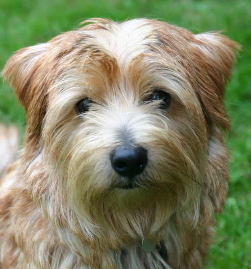 1198057562norfolk_terrier