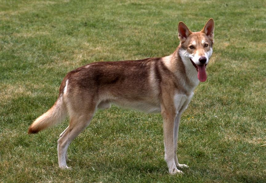 126527886605-saarlooswolfhound-HERMELINE-COGIS