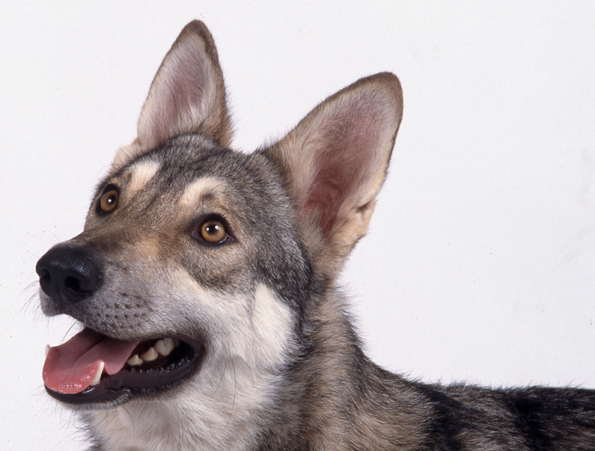 126527924808-saarlooswolfhound-FRANCAIS-COGIS