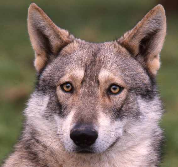 126527927407-saarlooswolfhound-HERMELINE-COGIS