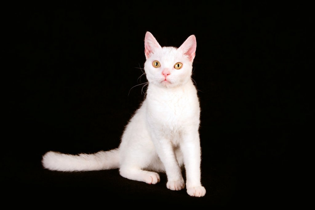 American Wirehair1