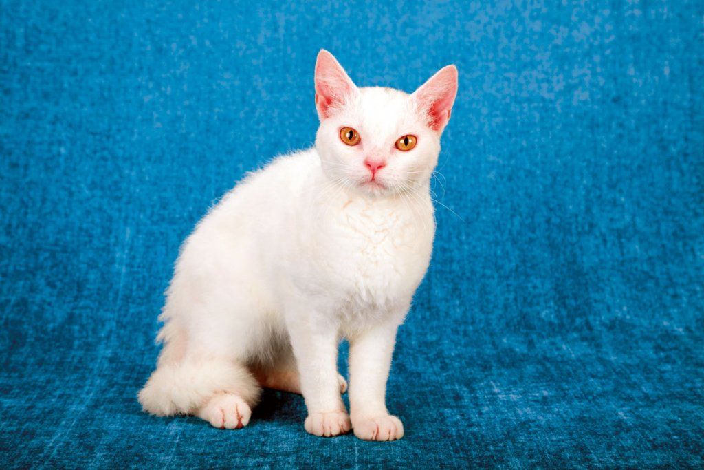 American Wirehair2