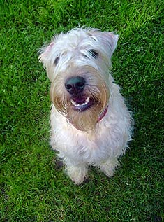 Soft_Coated_Wheaten_Terrier_face