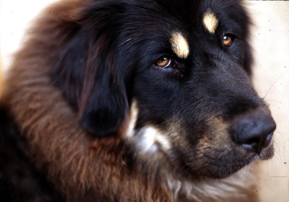 Tibetan_Mastiff_001