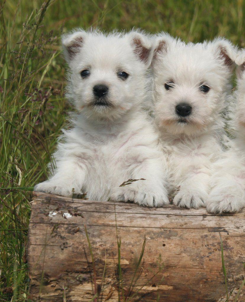 West-Highland-Terrier