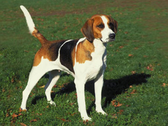 english-foxhound-thumb-334xauto-246_0
