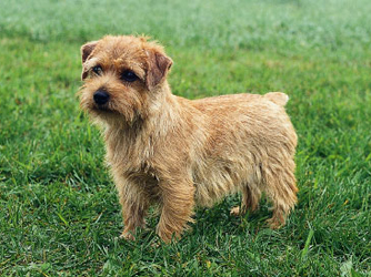 norfolk-terrier-thumb-334xauto-126