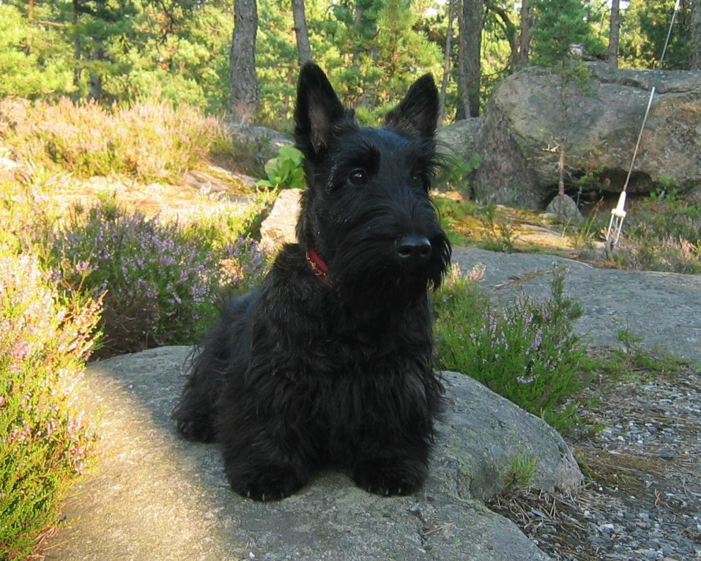 scottish-terrier-wallpaper-2