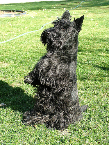 scottish-terrier2