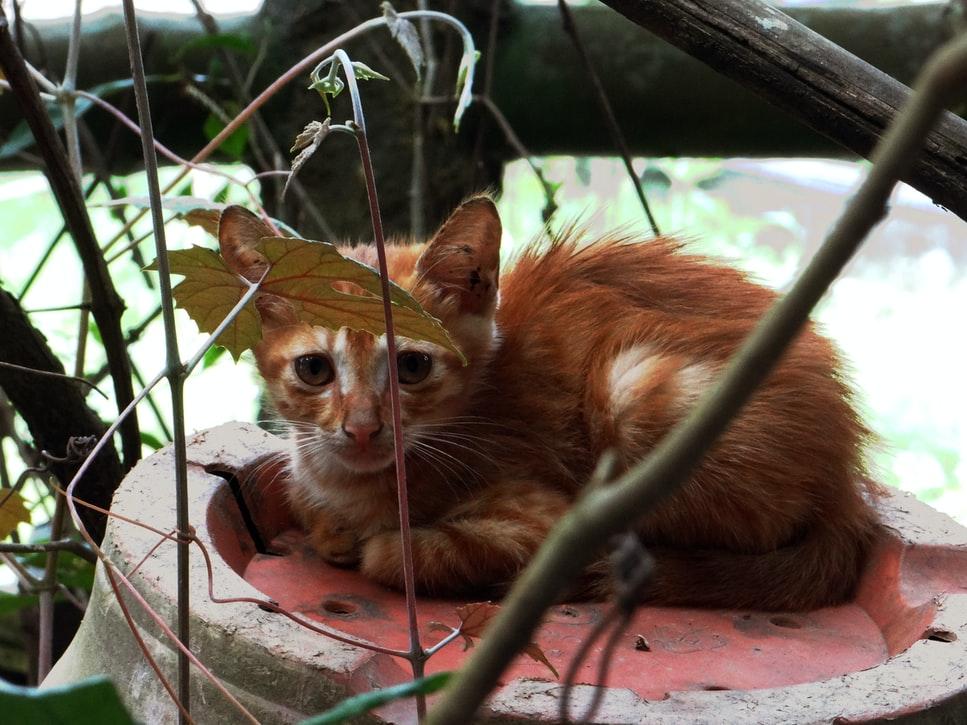 gatti brachicefali