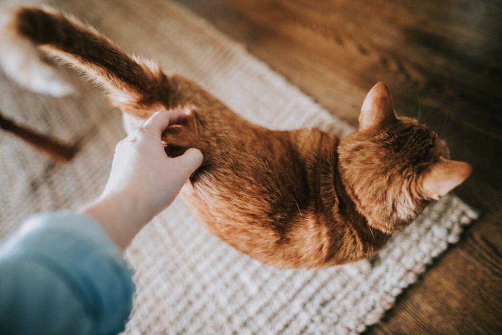 gatto coda
