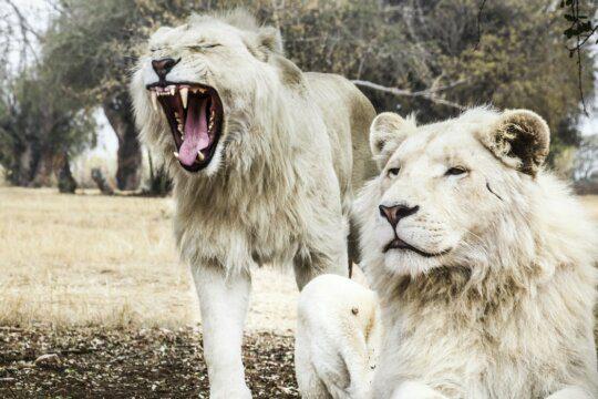 leoni sbadiglio