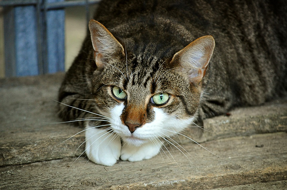 gatto zanzara